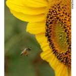 Símbolo de Jataí - abelha - mesmo esta sendo europa